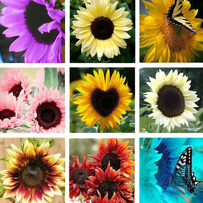 100 Pcs Mixed Sunflower Seeds Helianthus Annuus Turnsole Plant Seeds Fashion