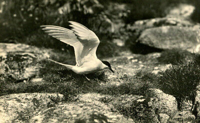 1930s postcard Tern on the Isles of Scilly