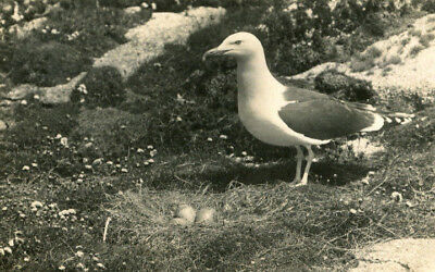 1931 postcard Gull and Nest on the Isles of Scilly