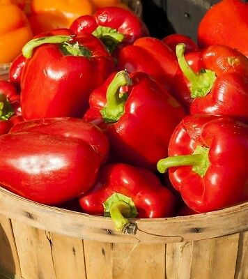 Red Bell Sweet Pepper Seeds, 400 SEEDS Non-GMO Lot #1 FREE SHIPPING Variety Size