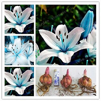 Blue Heart Lily Bulbs, Not Seeds, Rare Flower Bonsai Plant, Blue Lily Flowers