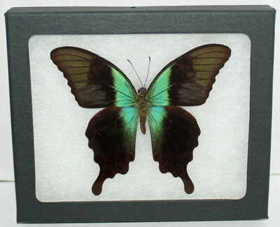 Real Framed Butterfly, Papilio Peranthus Adamantius in Riker Mount