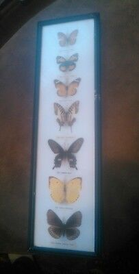 Retro vtg taxidermy Butterfly display wall hanging