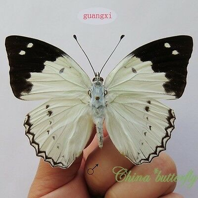 RARE unmounted butterfly Nymphalidae Helcyra superba GUANGXI A1-