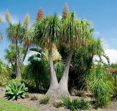 PONYTAIL PALM (Beaucarnea recurvata) 30 seeds