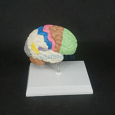 Color Brain Domain Anatomy Anatomical Model Right Brain Medical Function
