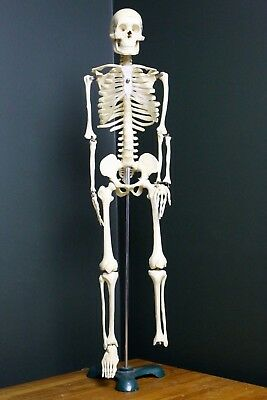 "Laboratory Model Scale Anatomy Skeleton 31"" Cast Iron Base Vintage Plastic"