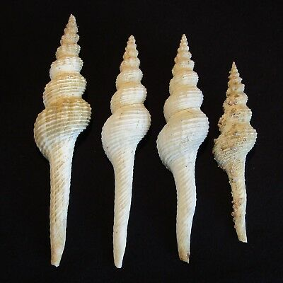 4 Large West African FUSINUS SEA SHELLS