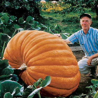 WORLD RECORD DILL'S ATLANTIC GIANT PUMPKIN SEEDS 30ct 1000 Pounder + SHIPS FREE