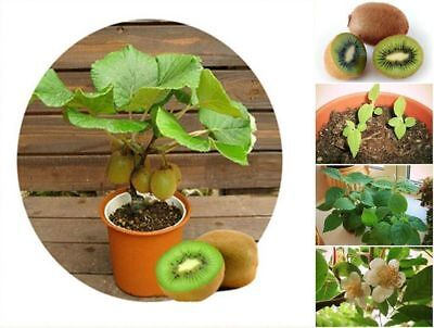 100pcs Exotic Mini Kiwi Tree Seeds Fruit Bonsai Dwarf Plants Rare Decor Garden