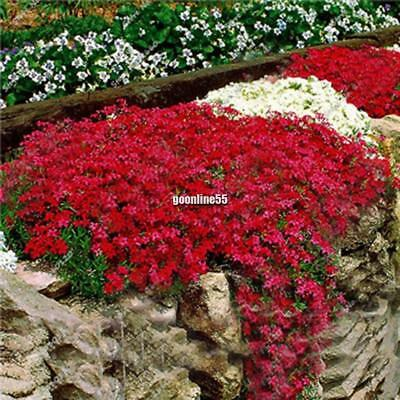 ROCK CRESS WHITE Arabis Caucasica 100 seeds ROCKERY PERENNIAL FLOWER caaz