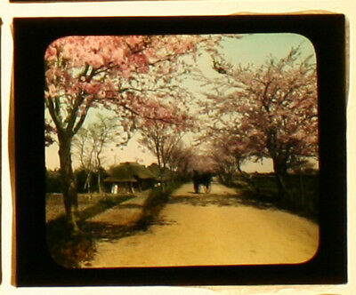 Cherry Blossoms, Japan. Rickshaw. Hand Colored Photo On Glass.