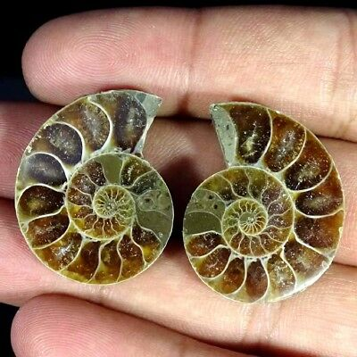 55.80Ct. Natural Ammonite Fossil Designer Match Pair Fancy Shape Gemstone