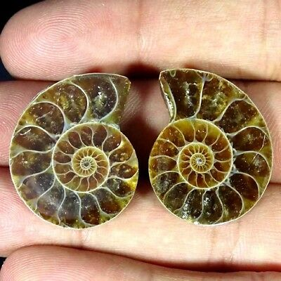 46.70Ct. Natural Ammonite Fossil Designer Match Pair Fancy Shape Gemstone