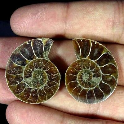 53.90Ct. Natural Ammonite Fossil Designer Match Pair Fancy Shape Gemstone