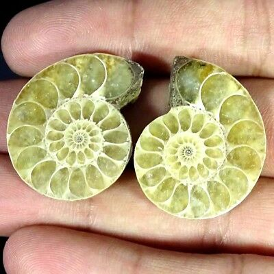 63.50Ct. Natural Ammonite Fossil Designer Match Pair Fancy Shape Gemstone