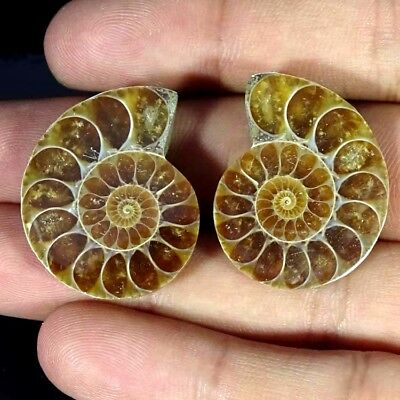63.00Cts. AMMONITE FOSSIL DESIGNER MATCH PAIR FANCY SHAPE RARE GEMSTONE