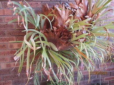 large staghorn fern,good condition