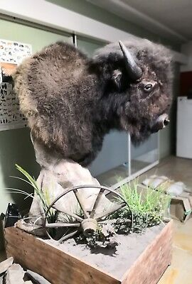 Bison Buffalo Büffel Taxidermy Tierpräparat