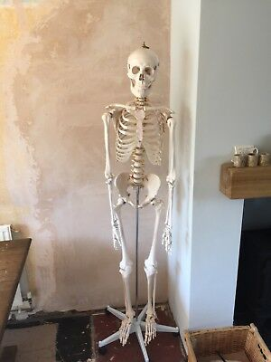 Skeleton full size anatomical model