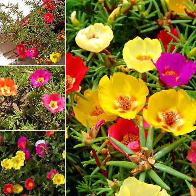200PCS Moss Rose MIX Portulaca Grandiflora Fresh Seed Flower Alpine Garden Decor