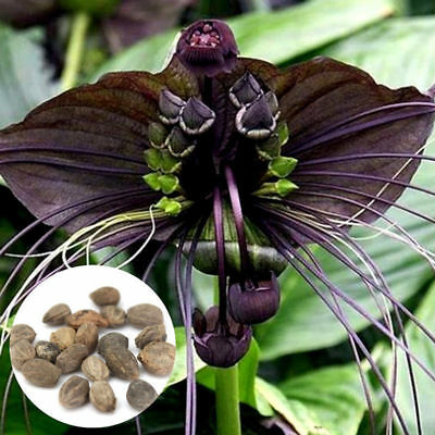 10pcs Rare Black Bat Tacca Chantrieri Whiskers Flower Seeds Garden Plants New