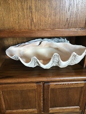Rare Extra large Giant Clam L76cm x H 50mm x D 50 / Shell