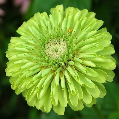 Zinnia Giant Envy (Green) 4 Gram ~ Approx 480 Finest Seeds