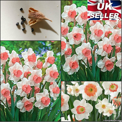 50 Seeds Daffodil Plant White-Pink Flower Narcissus Duo Bulbs Scented Pastel UK