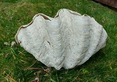 "Vtg 50s Pacific Ocean Giant Clam Shell Matched Pair Approx: 37 lbs 19""x 13""x 11"""