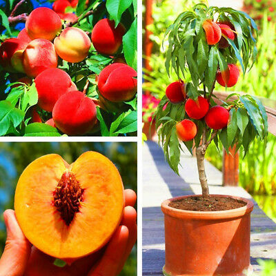 5X Sweet Peach Tree Seeds Delicious Fruit Home Bonsai Plant for Garden Decor US