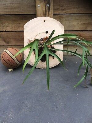Elk Fern On Backing Board Basketball In Picture Gives An Idea Of Fern Size