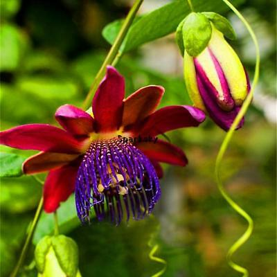 100pcs/Bag Passion Flower Seeds Vine Fruit Passiflora Bonsai Seeds Home LEBB 01