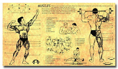 136402 Anatomy Human Muscles Bodybuilding Fitness Wall Print Poster AU