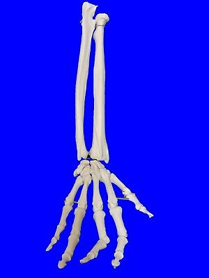 NEW Professional Life Size Human Hand and Forearm Skeleton Model, Anatomical UK