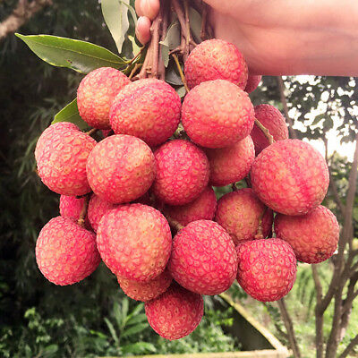 10Pcs Lychee Seeds Fruit Tree Seed Home Garden Delicious Lychee Seed Succulent