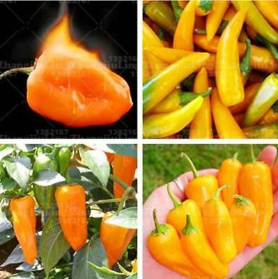 100 pcs Brazil's Vegetable seeds Habanero Orange Chilli Pepper Plant Extremely H