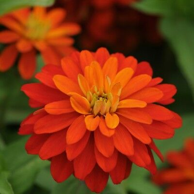 Zinnia - Brilliant Fire - 20 Seeds
