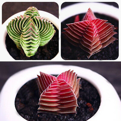 100Pcs Buddha's Temple Seeds Succulent Plants Bonsai Home Office Decor Pleasing