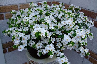 6 trailing bacopa xxl white huge flowers hanging basket patio plug 6 trailing bacopa xxl white huge flowers hanging basket patio plug plants mightylinksfo
