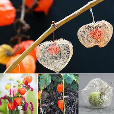 50PCS Lantern Fruit Seeds Perennial Physalis Cape Gooseberry Seeds Garden LM 01