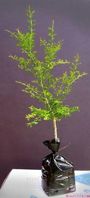Charteuse Red Finger Lime Tree (Microcitrus Austral.) Top Q Grafted Plant!