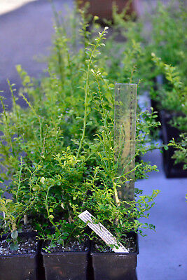 Yellow Sunshine Finger Lime Tree (Microcitrus Austr.) Top Q Grafted Tree!