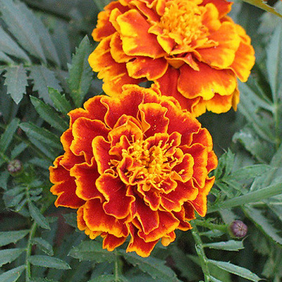 200+ marigold seeds (not selling to WA or TAS)