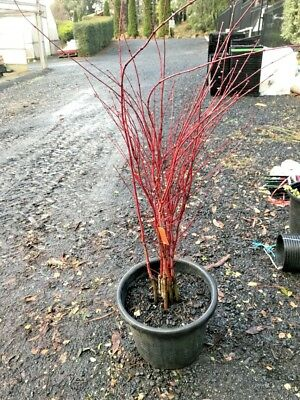 Japanese Coral Bark Maple Tree - Senkaki - 1.3m tall - BARE ROOTED SALE