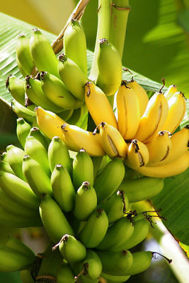 Bonsai 100PCS Seeds Rare Banana Fruit Organic Heirloom Plant Home Garden