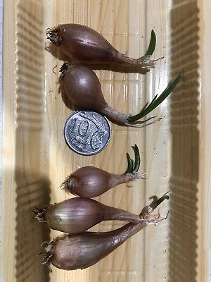 RED Shallots 5 Small Bulbs For Growing, Home Grown Shallot *To Clear*
