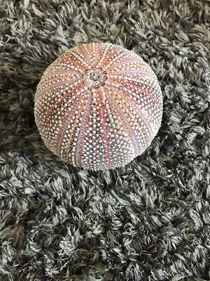 Large Sea Urchin Shell 10 cms diameter pre-owned
