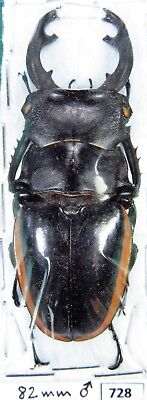 Unmounted Beetle Odontolabis cuvera ssp. 82 mm Laos