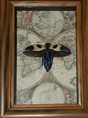 Real Framed beetle Butterfly insect mounted Collectible shadowbox gift taxidermy